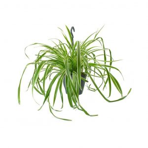Levegőtisztító növények