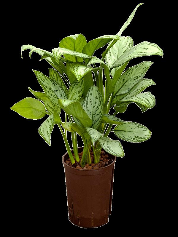 Aglaonema christina 15 cm-es cserépben