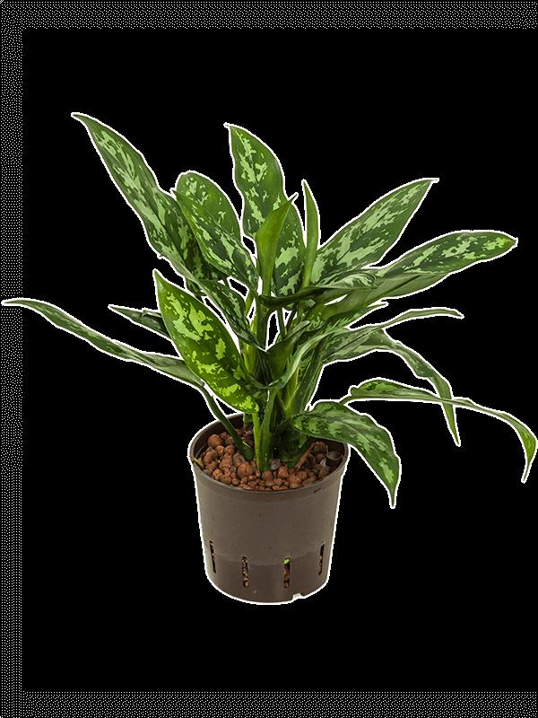 Aglaonema maria 13 cm-se cserépben