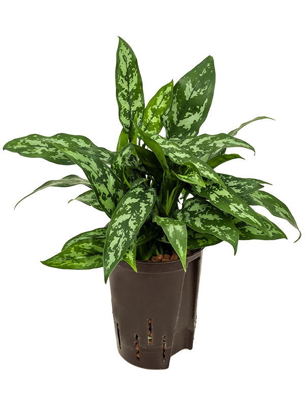 Aglaonema maria 15 cm-es cserépben