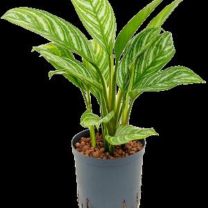 Aglaonema stripes 18 cm-es cserépben