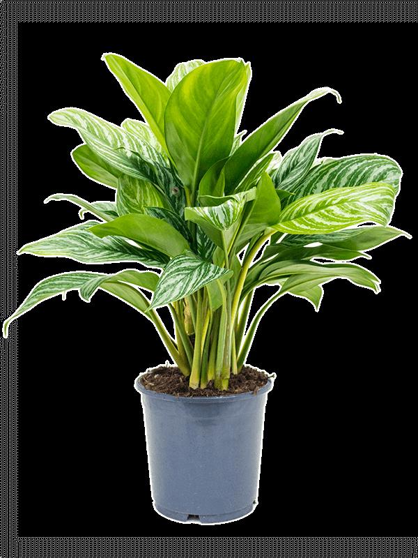 Aglaonema stripes 24 cm-es cserépben