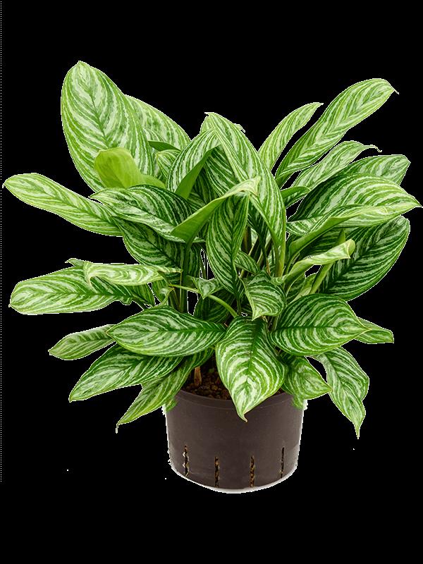 Aglaonema stripes 28 cm-es cserépben.