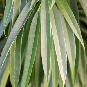 Ficus - Fikusz
