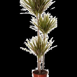 Dracaena bicolor 150 mc magas, 24 cm-es cserépben