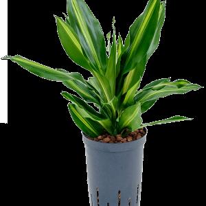 Dracaena cintho 45 cm magas, 15 cm-es cserépben