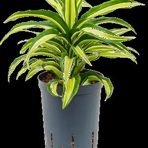 Dracaena compacta malaika 40 cm magas, 15 cm-es cserépben