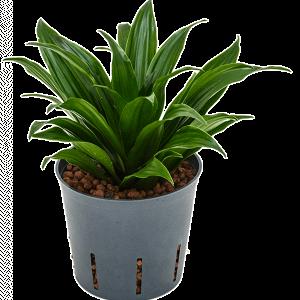 Dracaena compacta 30 cm magas, 13 cm-es cserépben