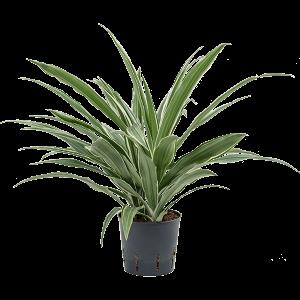 Dracaena deremensis 35 cm magas, 13 cm-es cserépben