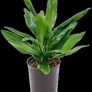 Dracaena fragrans 35 cm magas, 15 cm-es cserépben