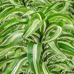 Dracaena jade jewel