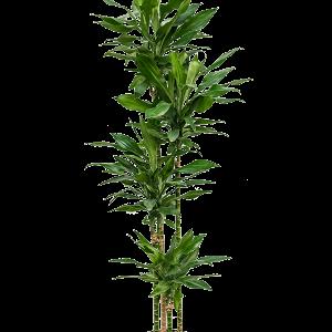 Dracaena janet lind 180 cm magas, 22 cm-es cserépben