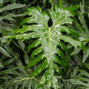 Philodendron – Filodendron