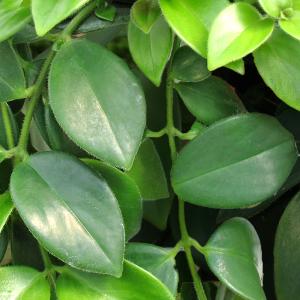 Aeschynanthus - Szégyenlősvirág