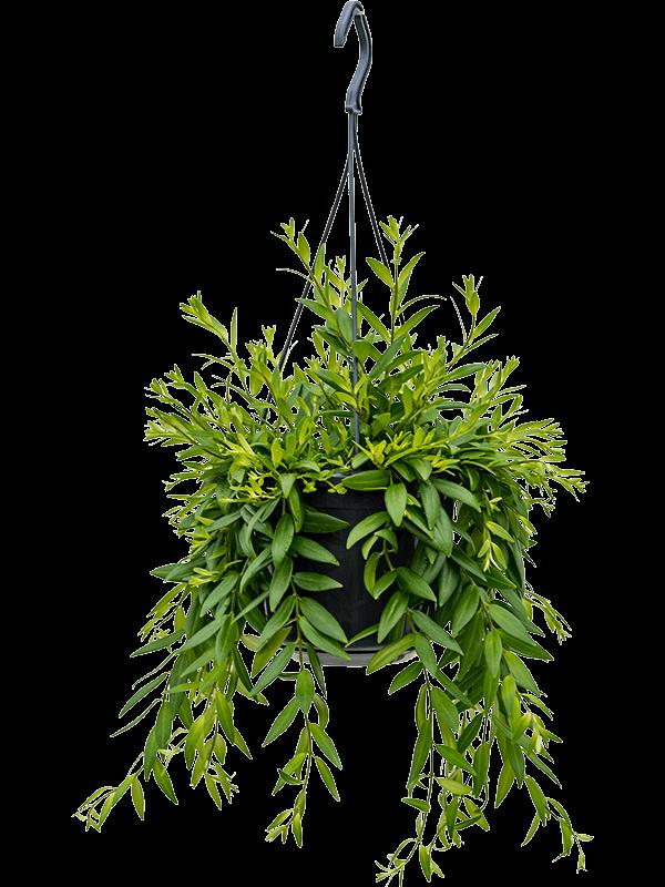 Aeschynanthus japhrolepis 55 cm magas, 15 cm-es cserépben