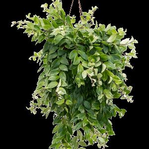 Aeschynanthus lobbianus variegata 50 cm magas, 20 cm-es cserépben