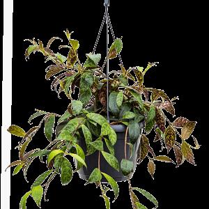 Aeschynanthus marmoratus 25 cm magas, 18 cm-es cserépben