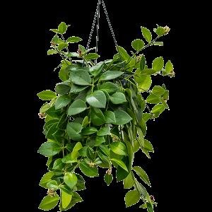 Aeschynanthus mona lisa 40 cm mags, 15 cm-es cserépben