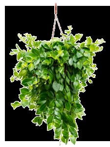 Aeschynanthus mona lisa 50 cm magas, 20 cm-es cserépben