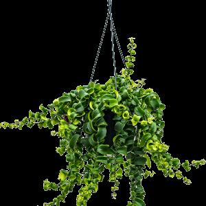 Aeschynanthus rasta 40 cm magas, 15 cm-es cserépben
