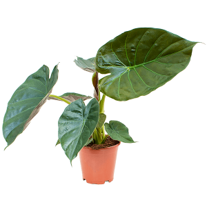 Alocasia wentii 55 cm magas, 19 cm-es cserépben