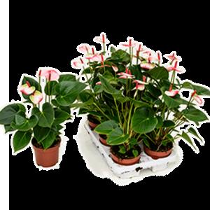 Anthurium and. amalia elegance 45 cm mags, 12 cm-es cserépben