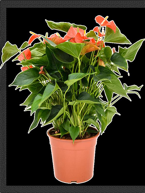 Anthurium and. matiz 60 cm magas, 27 cm-es cserépben