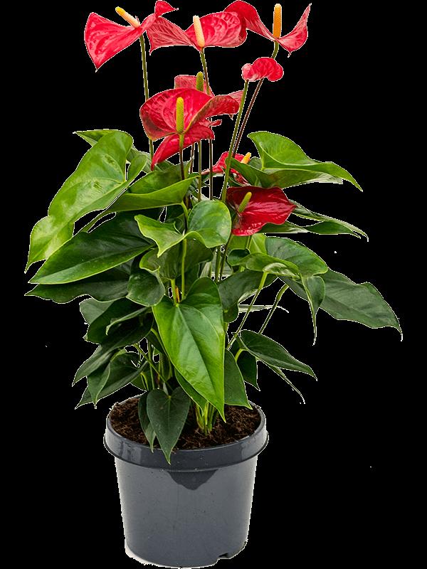 Anthurium and. sierra 60 cm magas, 21 cm-es cserépben
