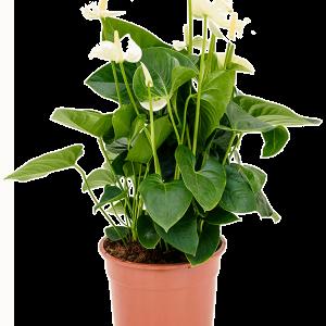 Anthurium and. sumi 75 cm magas, 27 cm-es cserépben