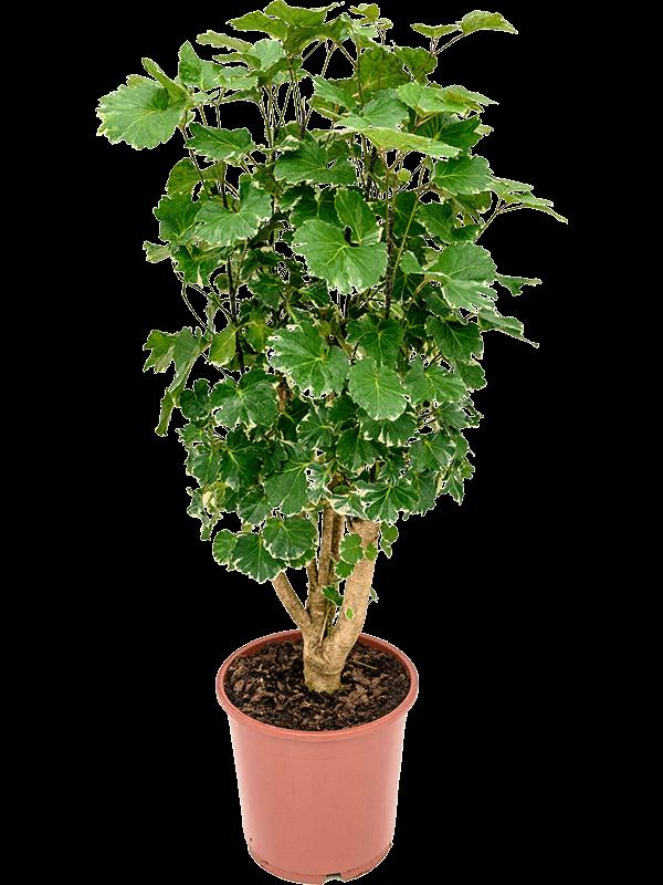 Aralia (polyscias) balfouriana 75 cm magas, 24 cm-es cserépben