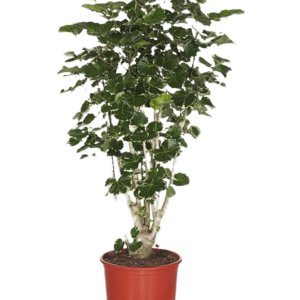 Aralia (polyscias) balfouriana 90 cm magas, 27 cm-es cserépben