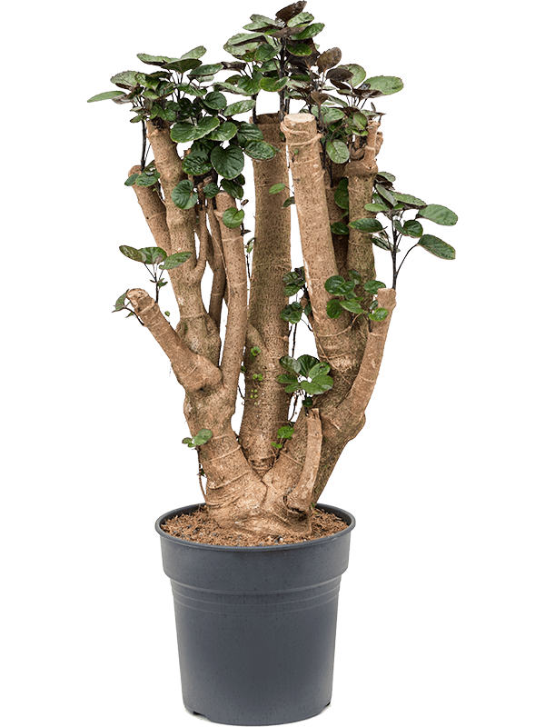Aralia (polyscias) fabian 100 cm magas, 27 cm-es cserépben