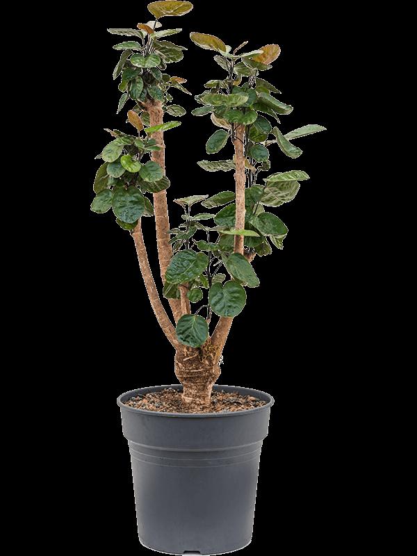 Aralia (polyscias) fabian 110 cm magas, 27 cm-es cserépben