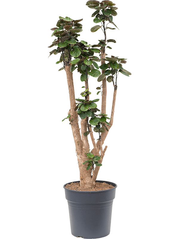 Aralia (polyscias) fabian 140 cm magas, 30 cm-es cserépben
