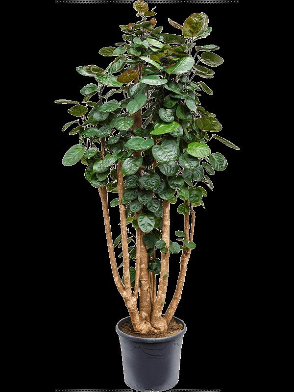 Aralia (polyscias) fabian 160 cm magas, 34 cm-es cserépben