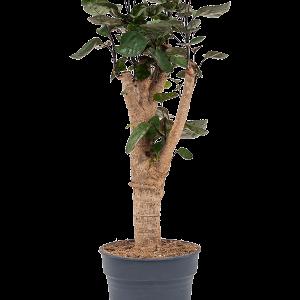 Aralia (polyscias) fabian Branched 50 cm magas, 15 cm-es cserépben