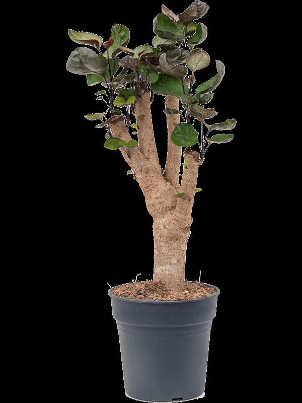 Aralia (polyscias) fabian 50 cm magas, 17 cm-es cserépben