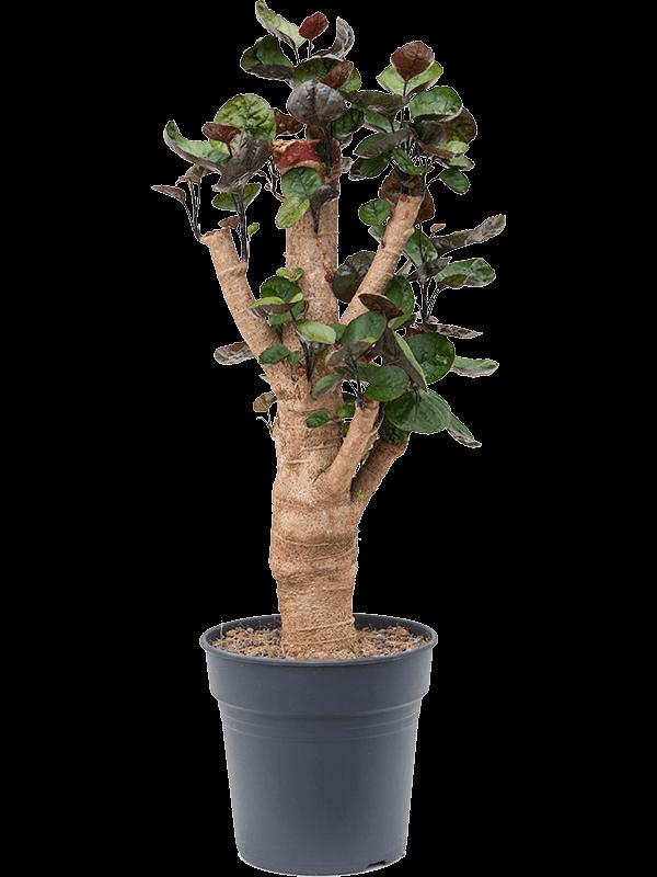 Aralia (polyscias) fabian 65 cm magas, 21 cm-es cserépben