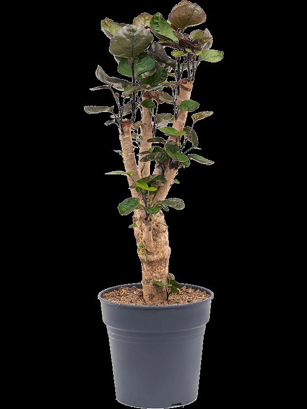 Aralia (polyscias) fabian 70 cm magas, 19 cm-es cserépben