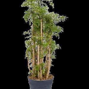Aralia (polyscias) ming 125 cm magas, 30 cm-es cserépben
