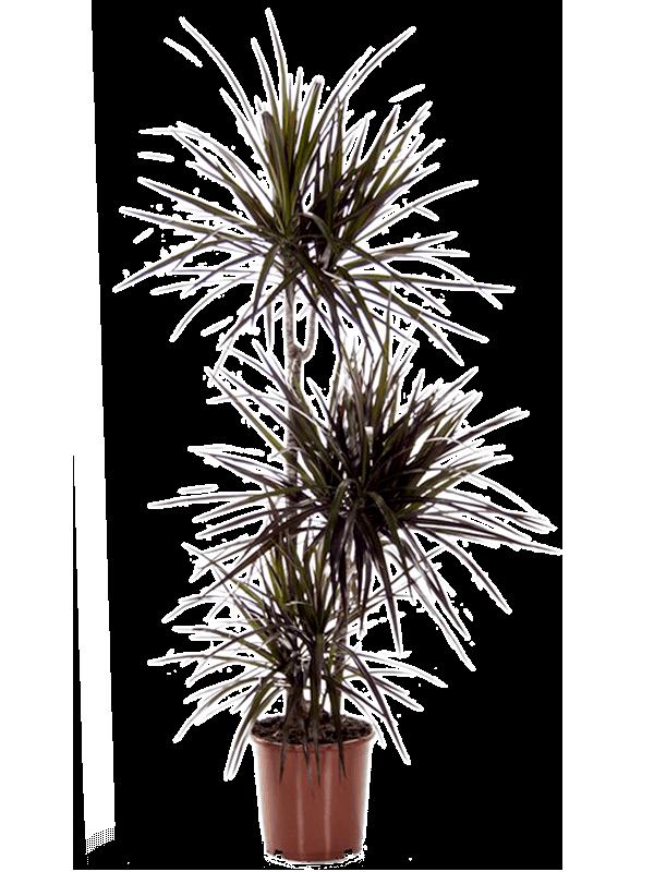 Dracaena magenta 120 cm magas, 21 cm-es cserépben