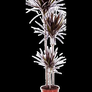 Dracaena magenta 160 cm magas, 24 cm-es cserépben