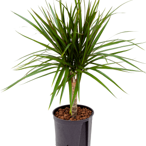 Dracaena marginata 45 cm magas, 15 cm-es cserépben