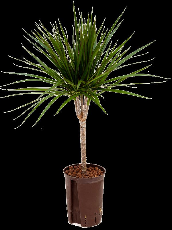 Dracaena marginata 60 cm mags, 15 cm-es cserépben