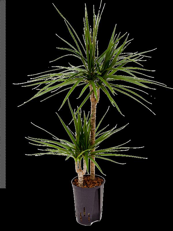 Dracaena marginata 90 cm magas, 15 cm-es cserépben