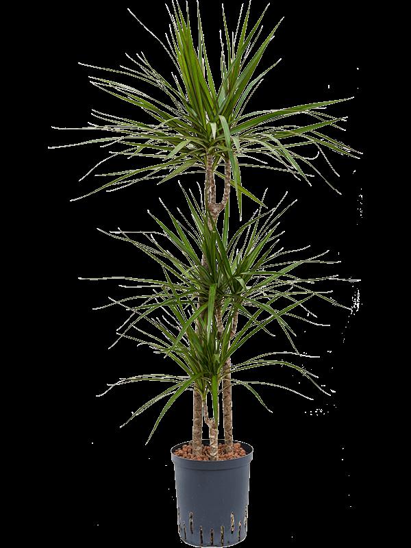 Dracaena marginata 110 cm magas, 18 cm-es cserépben
