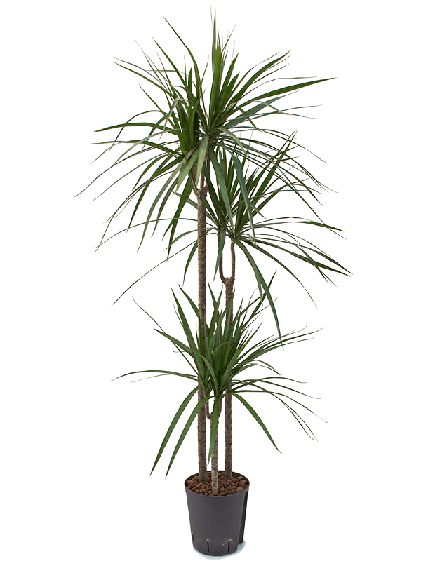 Dracaena marginata 145 cm magas, 18 cm-es cserépben