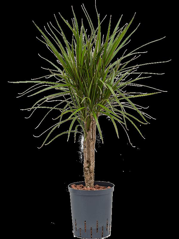 Dracaena marginata 70 cm magas, 18 cm-es cserépben
