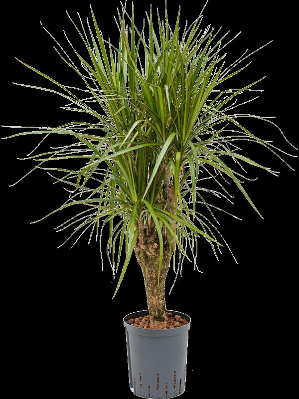 Dracaena marginata 80 cm magas, 18 cm-es cserépben