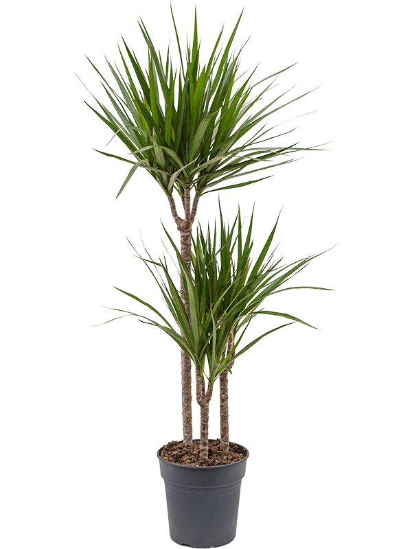 Dracaena marginata 115 cm magas, 21 cm-es cserépben